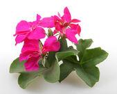 Geranium Pelargonium Flowers — Stock Photo