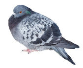 Feral gray pigeon — Stock Photo