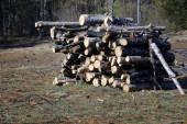 Cutting of pine tree — Stock Photo