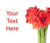 Big beautiful bouquet of red Amaryllis — Stock Photo