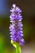 Flores de color azul — Foto de Stock