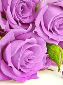 Natural roses background — Stock Photo