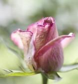 Natuurlijke rozen achtergrond — Stockfoto