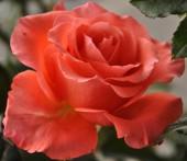 Fondo de rosas naturales — Foto de Stock
