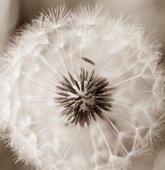 Art dandelion — Stock Photo