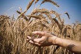 Concern for a good harvest — Stock Photo