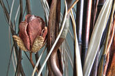 Dried tulip 80 — Foto de Stock