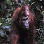 Mother Orangutan and Baby — Stock Photo #56109229