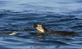 Swimming penguins. The African penguin (Spheniscus demersus) — Stock Photo