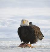 The Bald eagle  ( Haliaeetus leucocephalus ) — Stock Photo