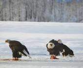 The Bald eagles  ( Haliaeetus leucocephalus ) — Stock Photo