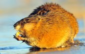 Eating Muskrat — Stock Photo