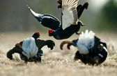 Fighting Black Grouse  — Stock Photo