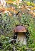 Forest mushrooms growing in green grass. Edible Bay Bolete (Boletus badius ). — Foto de Stock