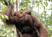 Mother and baby orangutans — Stock Photo