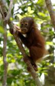 Baby Orangutan on tree — Stock Photo