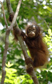 Orangutan del bambino sull'albero — Foto Stock