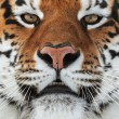 Siberian tiger (Panthera tigris altaica) — Stock Photo #72468005