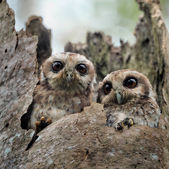 The Bare-legged Owl — Stock Photo