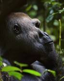 Western Lowland Gorilla — Stock Photo