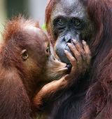 The cub of the orangutan kisses mum.  — Stock Photo