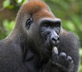 Western Lowland Gorilla. — Stock Photo