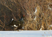 Black Grouse in the snow — Stock Photo