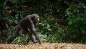 Bonobo ( Pan paniscus)   portrait. — Stock Photo