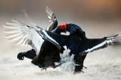 Fighting Black Grouse — Stock Photo
