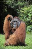 The adult male of the Orangutan. — Stock Photo