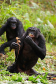 The chimpanzees bonobo in pond — Stock Photo