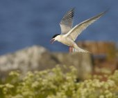 Tern in flight outdoors — Stock Photo