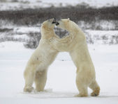 Fighting polar bears. — Stock Photo