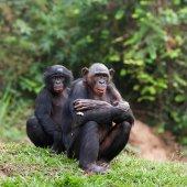 Pair portrait Bonobo — Stock Photo