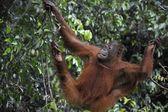 Juvenile Orangutan .Pongo pygmaeus — Stock Photo