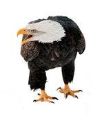 Close up Portrait of a Bald eagle — Stock Photo