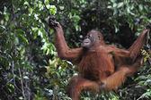 Ung orangutang .pongo pygmaeus — Stockfoto