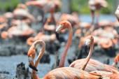 Caribbean flamingos. — Stock Photo
