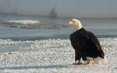 Portrait of an  Adult Bald Eagle(Haliaeetus leucocephalus) on snow — Stockfoto