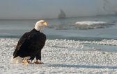 Portrait of an  Adult Bald Eagle(Haliaeetus leucocephalus) on snow — Stock Photo