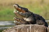 Nile crocodile (Crocodylus niloticus), mating, — Stock Photo