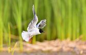 Black-headed Gull (Larus ridibundus) — Stock Photo