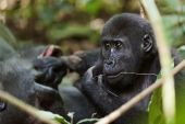 The western lowland gorilla — Stock Photo