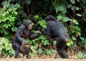 The Swearing and Aggressive Bonobo — Stock Photo