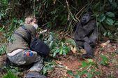 Photographer  and lowland gorilla. — Stock Photo