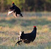 The Black Grouse or Blackgame — Stock Photo