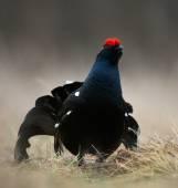 The Black Grouse or Blackgame (Tetrao tetrix). — Stock Photo