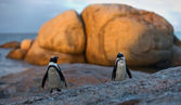 Jackass Penguin and Black-footed Penguin — Stock Photo
