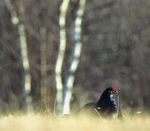 Lekking Black Grouse ( Lyrurus tetrix). — Stock Photo