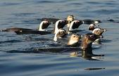 Swimming penguins (Spheniscus demersus) — Stock Photo